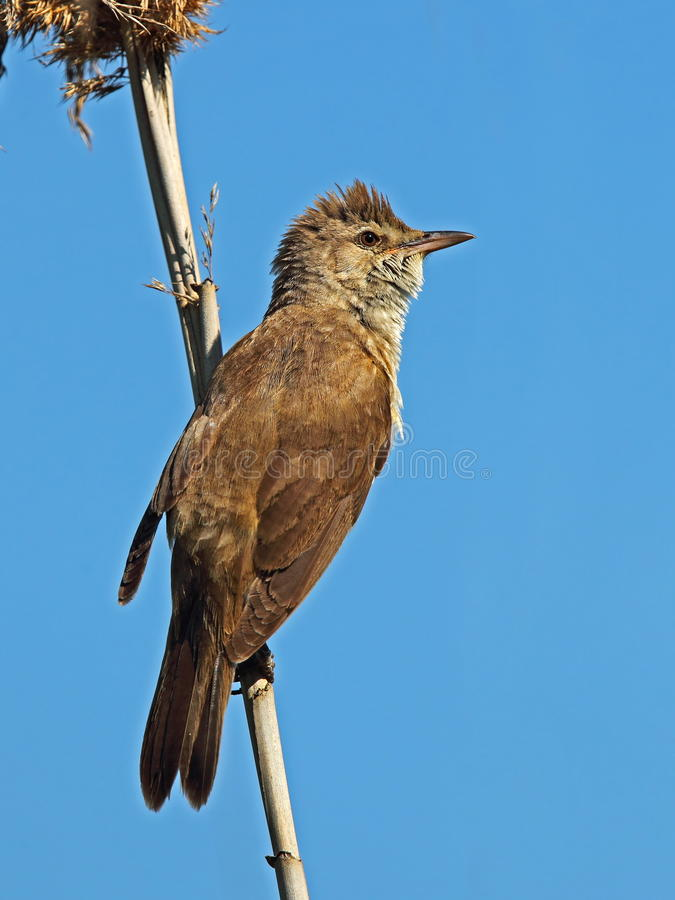 Free Great Reed Warbler Stock Photography - 47307682