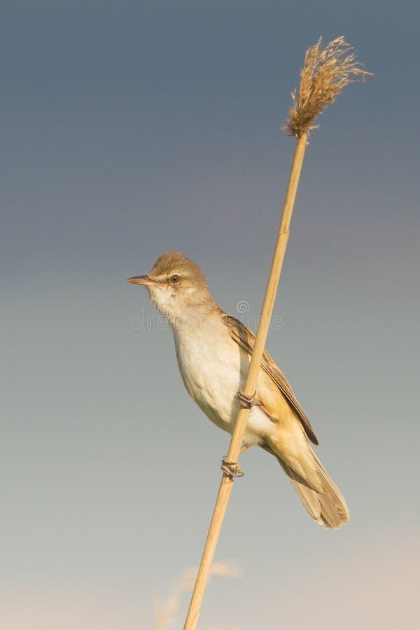 Download Great Reed Warbler  / Acrocephalus Arun Stock Photo - Image: 19516968