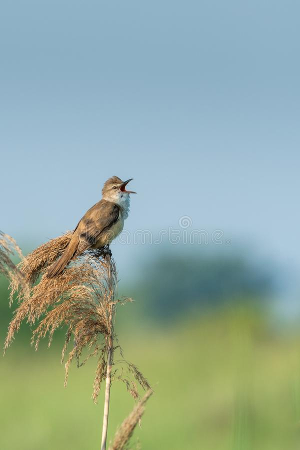 Great reed warbler Acrocephalus arundinaceus. Beautiful nature scene with Great reed warbler Acrocephalus arundinaceus. Wildlife shot of Great reed warbler royalty free stock photo