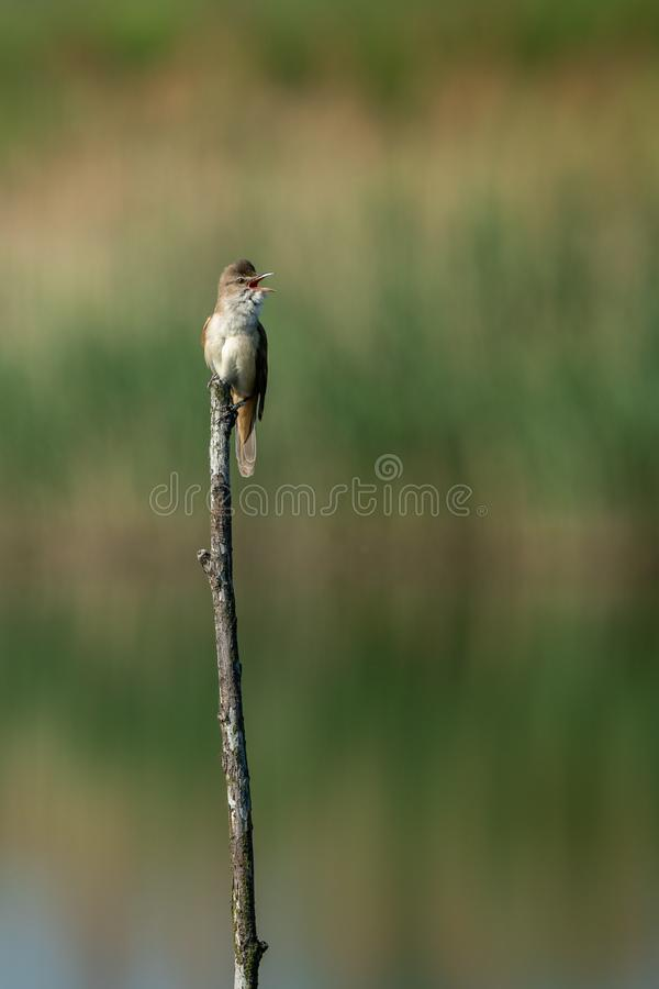 Great reed warbler Acrocephalus arundinaceus. Beautiful nature scene with Great reed warbler Acrocephalus arundinaceus. Wildlife shot of Great reed warbler stock images