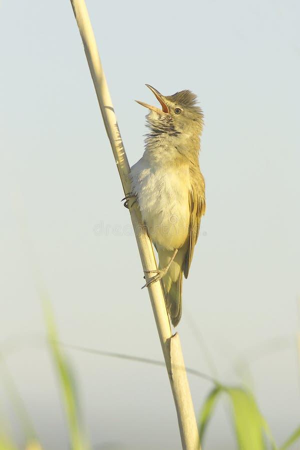 Download Great Reed Warbler ( Acrocephalus Arundinaceus ) Stock Image - Image: 31167735