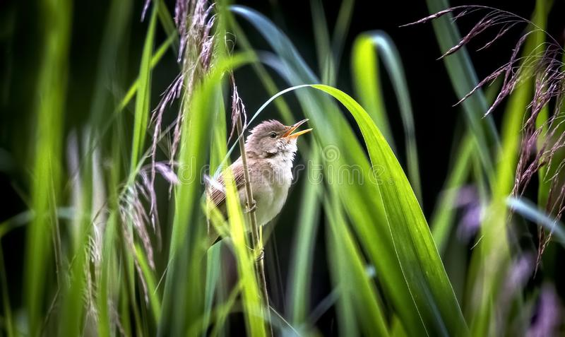 The great reed warbler Acrocephalus arundinaceus. Water bird hunt insects for their young in the nest stock images