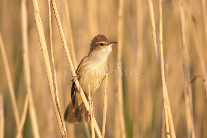 Great Reed Warbler. Great Reed-warbler in an evening light royalty free stock photo