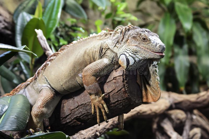 Great reptile iguana lizard sits on a tree branch. stock images