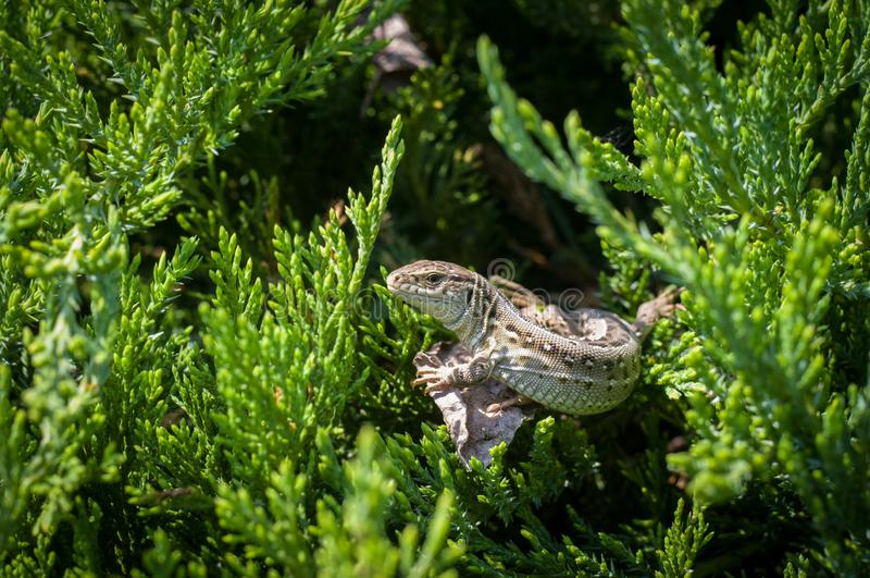 Big lizard in the branches of the conifer bush stock image