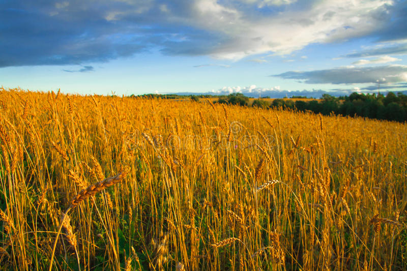 Great rural field with ripe ears of rye at sunset stock photos