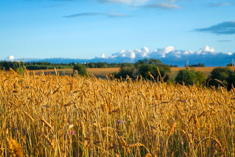 Great rural field with ripe ears of rye at sunset stock image