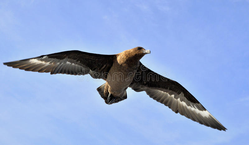 Great Skua. (Great Skua) Catharacta skua in flight on blue sky background stock photography