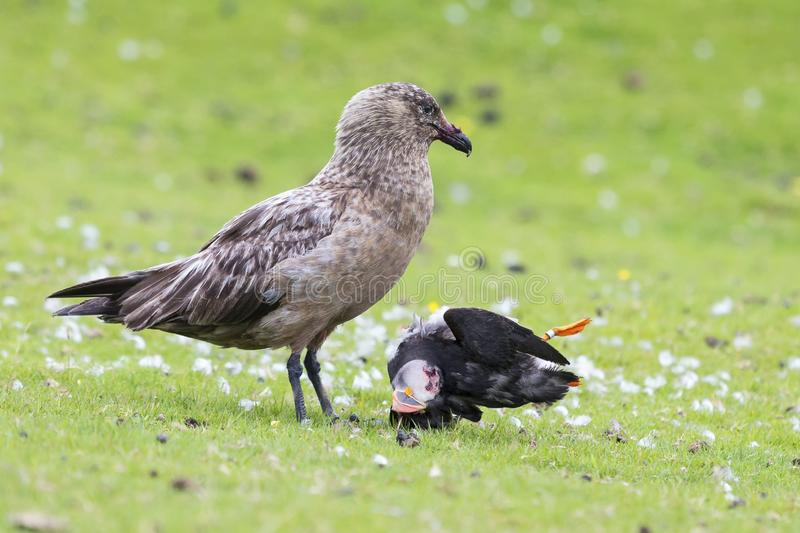 Great skua standing on green grass eating a puffin it killed. Great skua standing on a green grass eating a puffin it killed royalty free stock photos