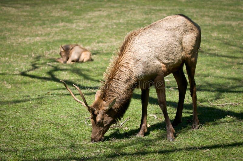 Great Smoky Mountains National Park Elk Wildlife