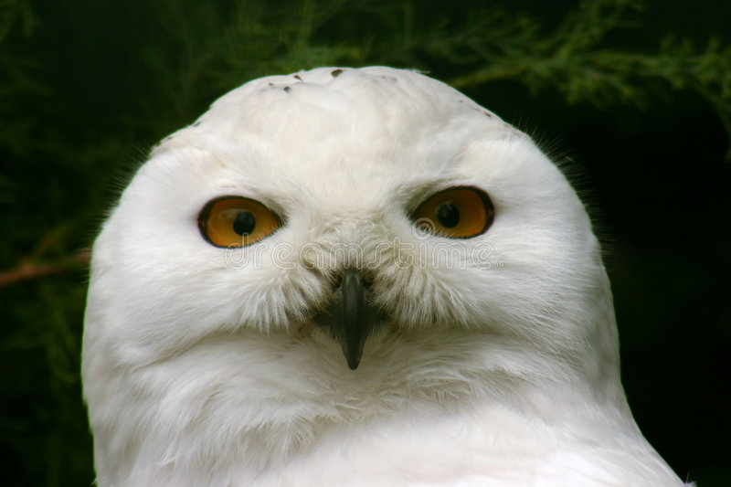 Download Great Snow Owl stock photo. Image of nocturnal, tales, beak - 13858