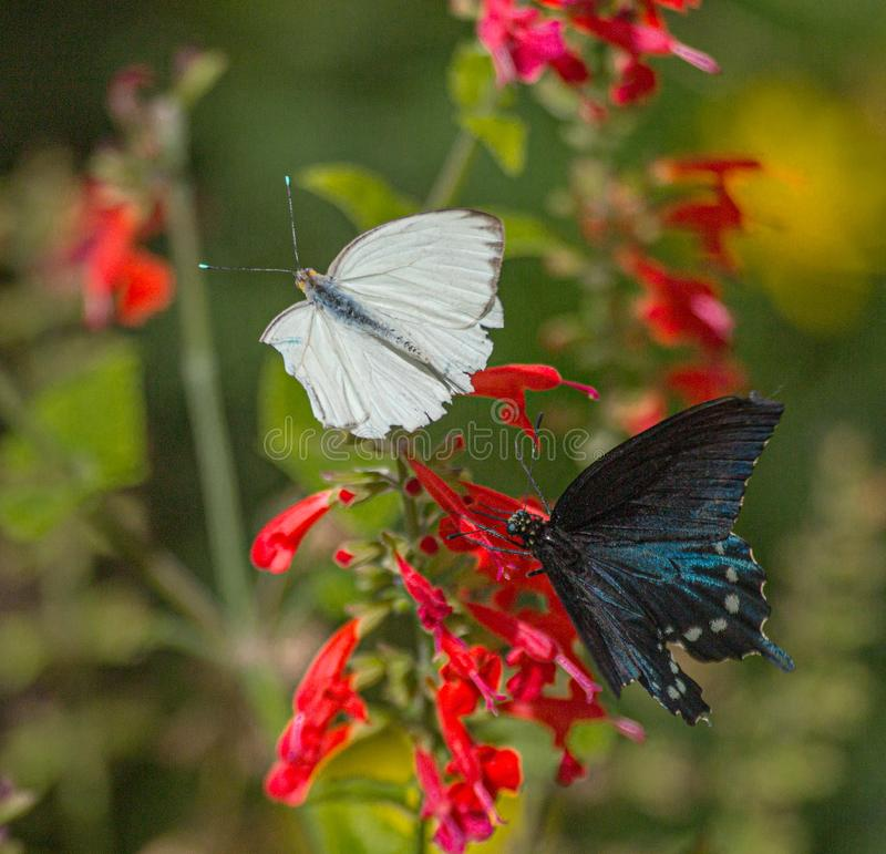 Great Southern White and Pipevine Swallowtail Butterflies on Red Salvia Flower in Arizona Desert. Natural beauty stock images