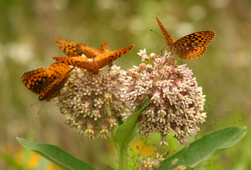 Download Great Spangled Fritillary Butterflies Stock Photo - Image: 1166906