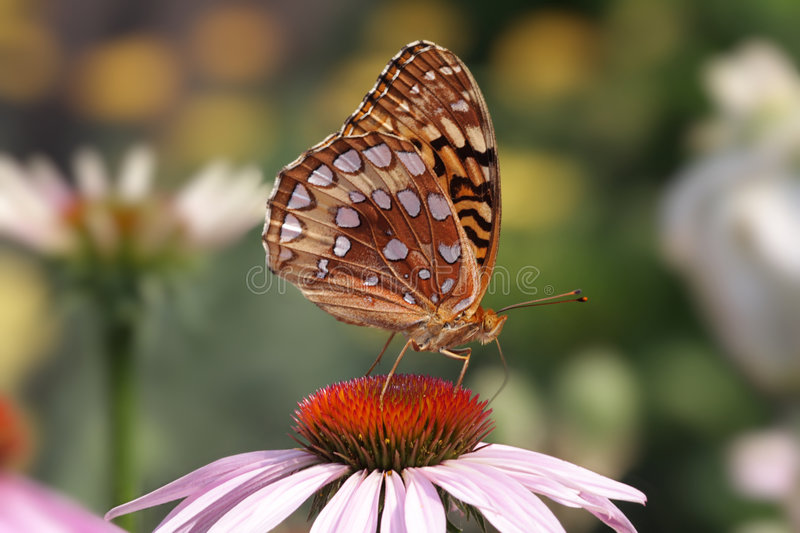 Great Spangled Fritillary Butterfly stock photo