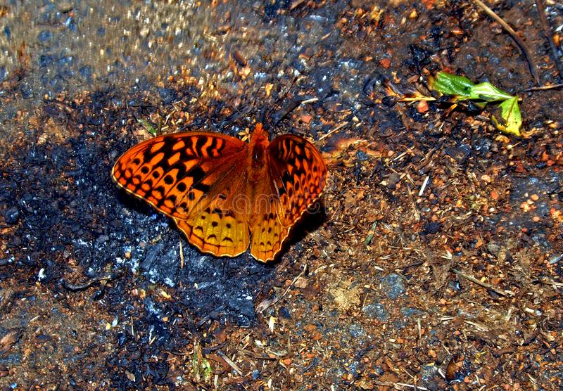 Great Spangled Fritillary Butterfly Speyeria Cybele royalty free stock photography