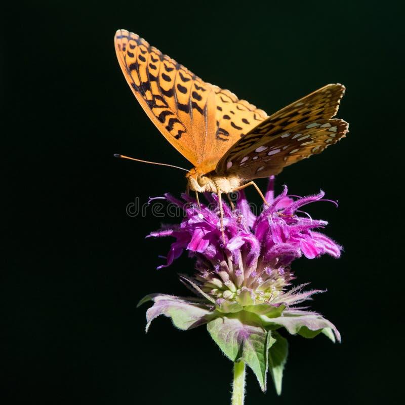 Great Spangled Fritillary royalty free stock photo