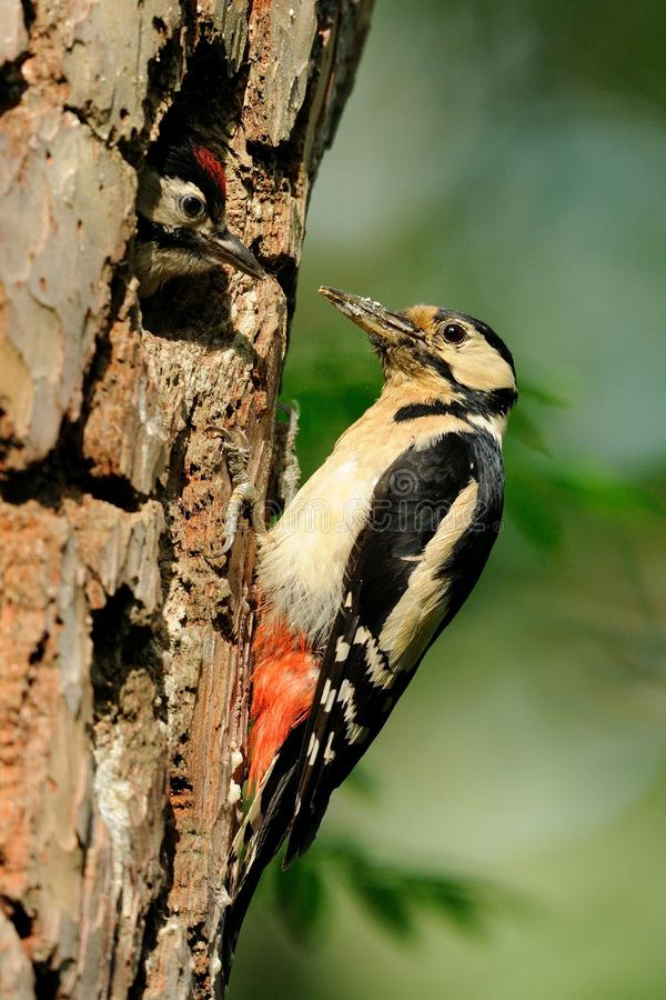 Great Spotted Woodpecker. The Great Spotted Woodpecker is also called Greater Spotted Woodpecker. This one is feeding the chicks royalty free stock photo