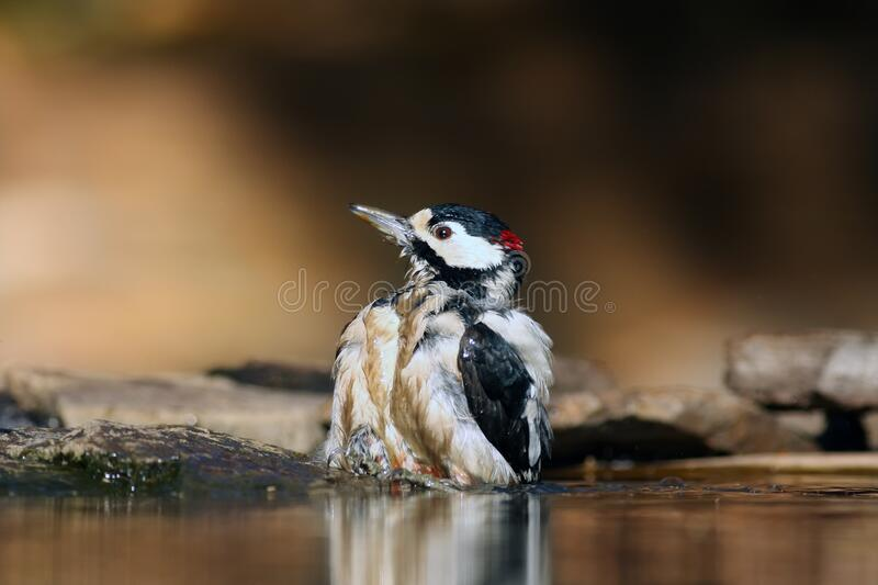 The great spotted woodpecker Dendrocopos major is bathing and drinking in small forest pond with reflection in water and with. Yellowish background royalty free stock image