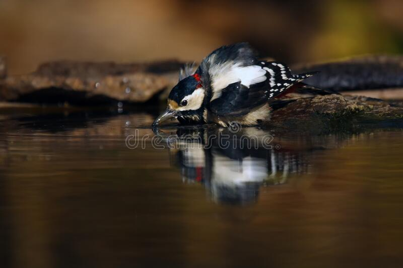 The great spotted woodpecker Dendrocopos major is bathing and drinking in small forest pond with reflection in water and with. Yellowish background stock photography