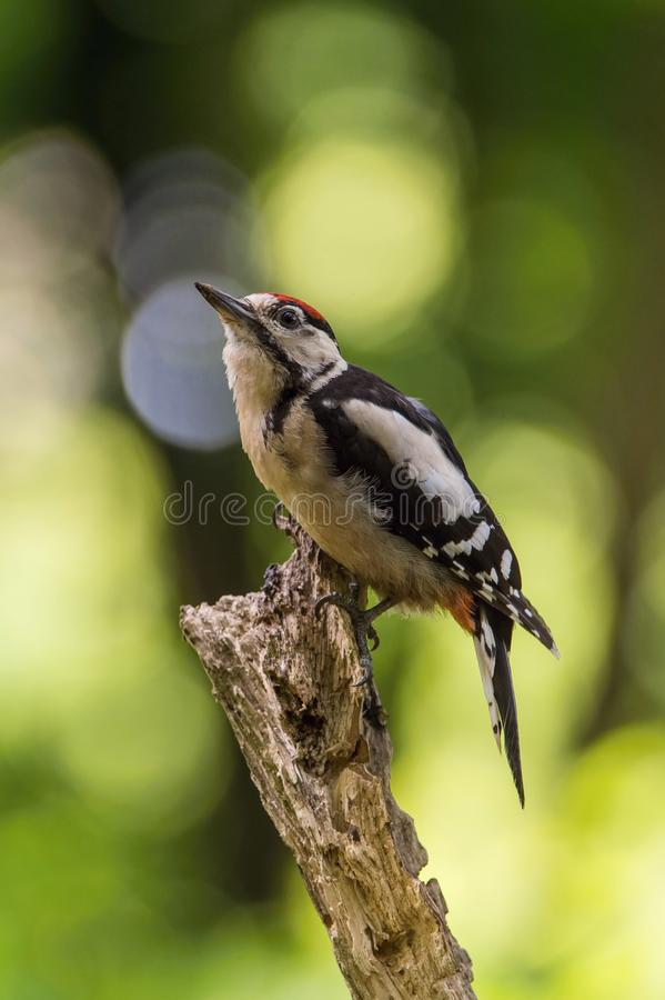 The Great Spotted Woodpecker, Dendrocopos major is sitting on the branch of tree. Somewhere in the forest, colorful background and nice soft light royalty free stock images
