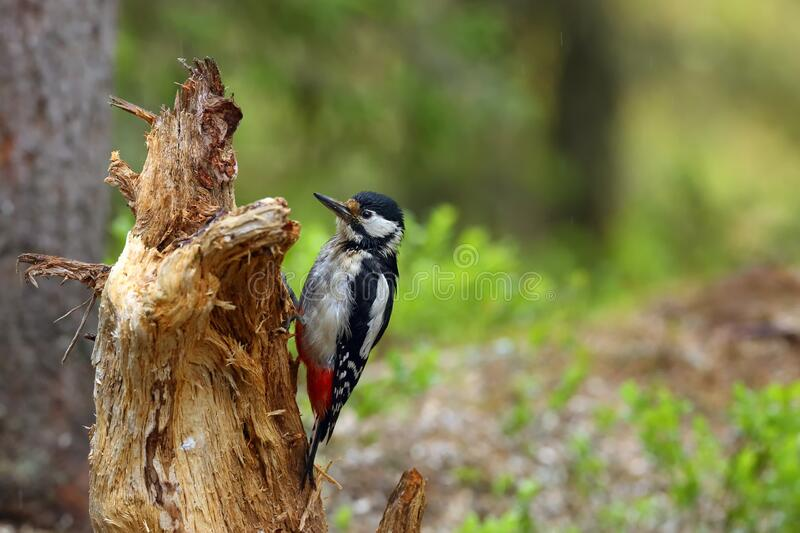 The great spotted woodpecker Dendrocopos major sitting on the dry tree trunk in the forest with green background.  stock photography