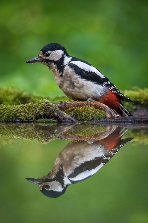 The Great Spotted Woodpecker, Dendrocopos major is sitting at the forest waterhole. Reflecting in the surface, preparing for the bath, colorful background and royalty free stock image