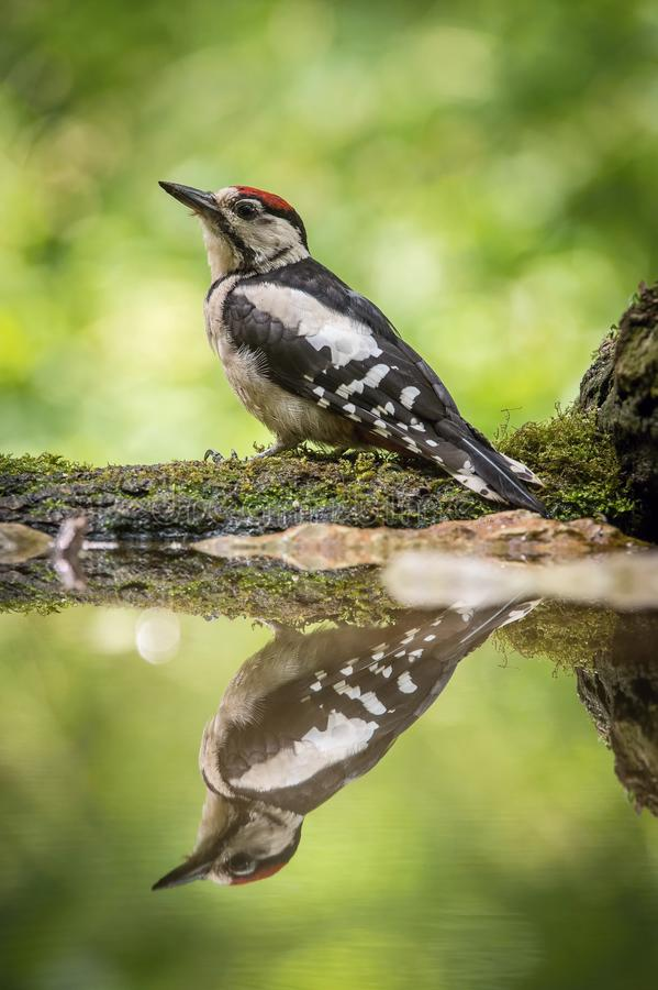 The Great Spotted Woodpecker, Dendrocopos major is sitting at the forest waterhole. Reflecting in the surface, preparing for the bath, colorful background and stock photo