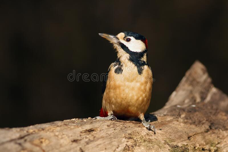 The great spotted woodpecker ,Dendrocopos major, sitting on the tree trunk in the middle of forest with grey and brown background.  royalty free stock image