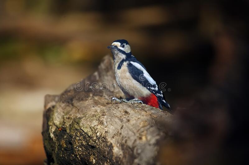 The great spotted woodpecker ,Dendrocopos major, sitting on the tree trunk in the middle of forest with grey and brown background.  royalty free stock images