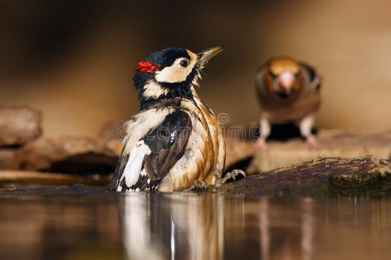 The great spotted woodpecker, Dendrocopos major, sitting in the water in the middle of the forest with gray and brown background. The bathing woodpecker with royalty free stock image