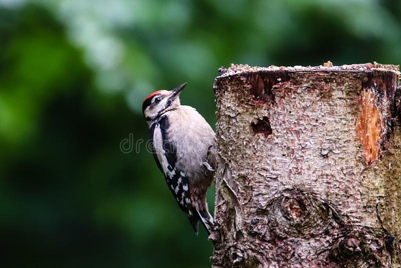 Great spotted woodpecker Dendrocopos major young bird digs tree profile portrait. Woodpecker with trees forest out of focus royalty free stock photography