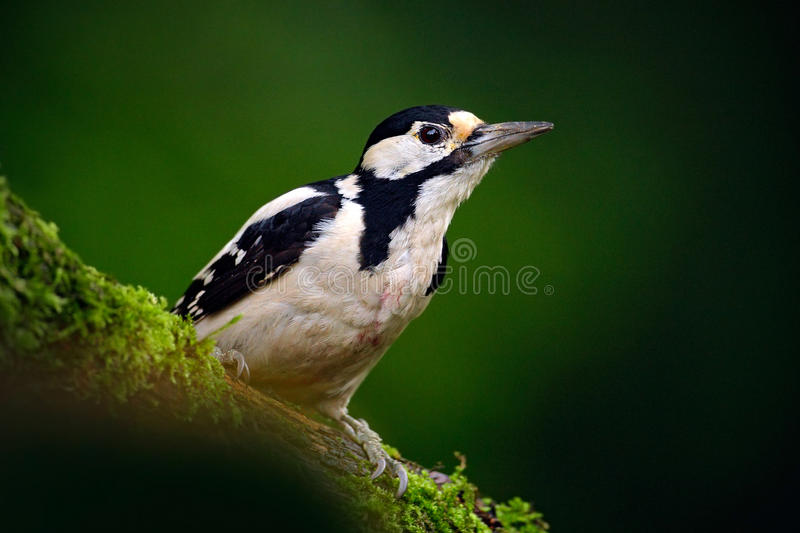 Great Spotted Woodpecker, detail close-up portrait of bird head with red cap, black and white animal in the forest habitat, clear. Background, Hungary royalty free stock image