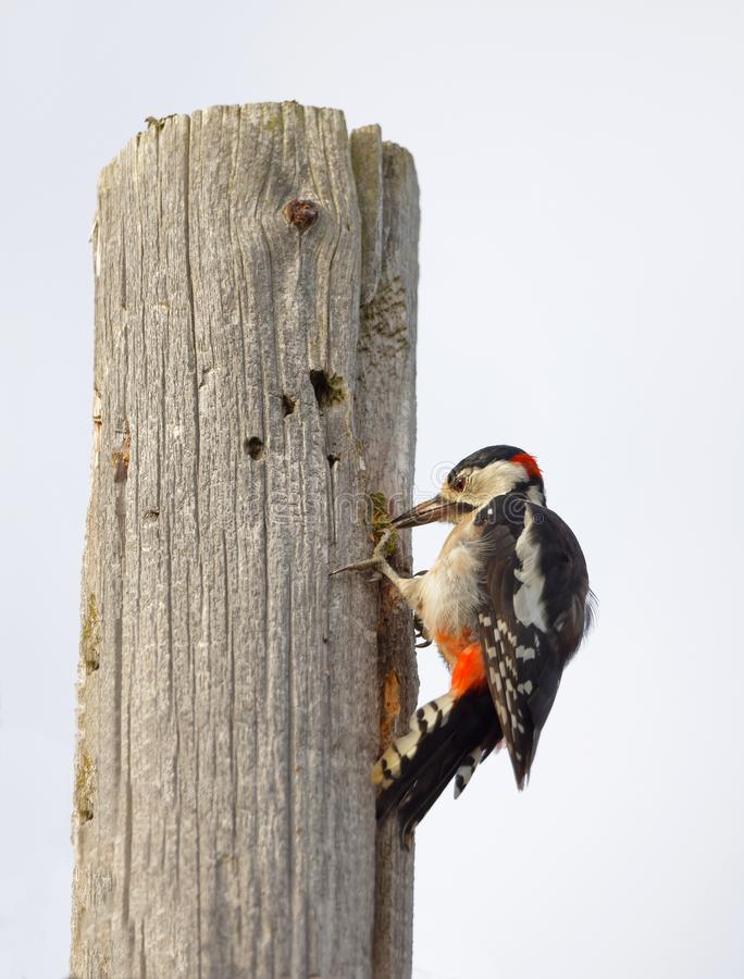Great spotted woodpecker latin: Dendrocopus major eating on a stock photo