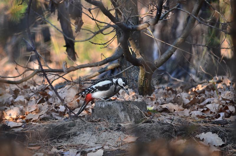 Great spotted woodpecker sitting on a stump. Dendrocopos major. Dendrocopos major. Great spotted woodpecker sitting on a stump in the forest. Fauna of Ukraine stock images