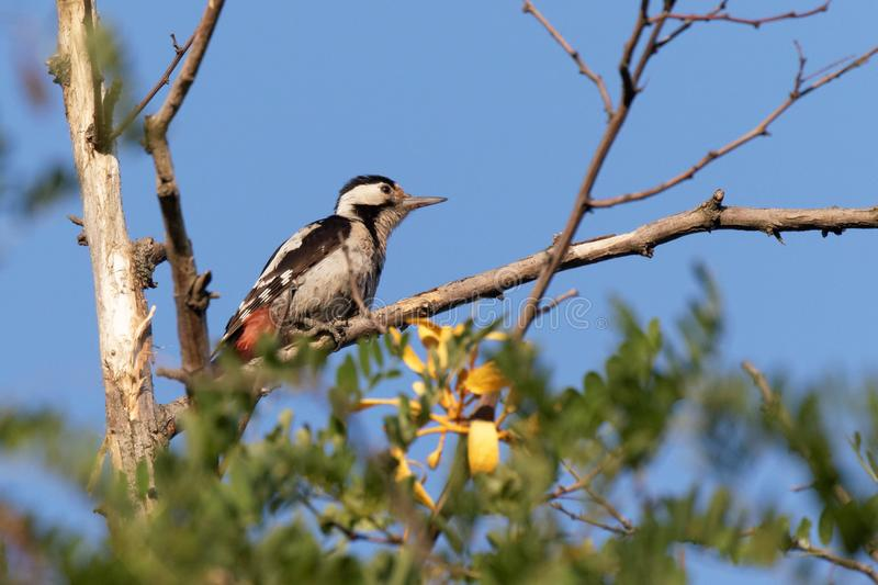 The Great Spotted Woodpecker is sitting on a thick branch and looking for food. Green leaves against the blue sky. Bright sunny day royalty free stock images