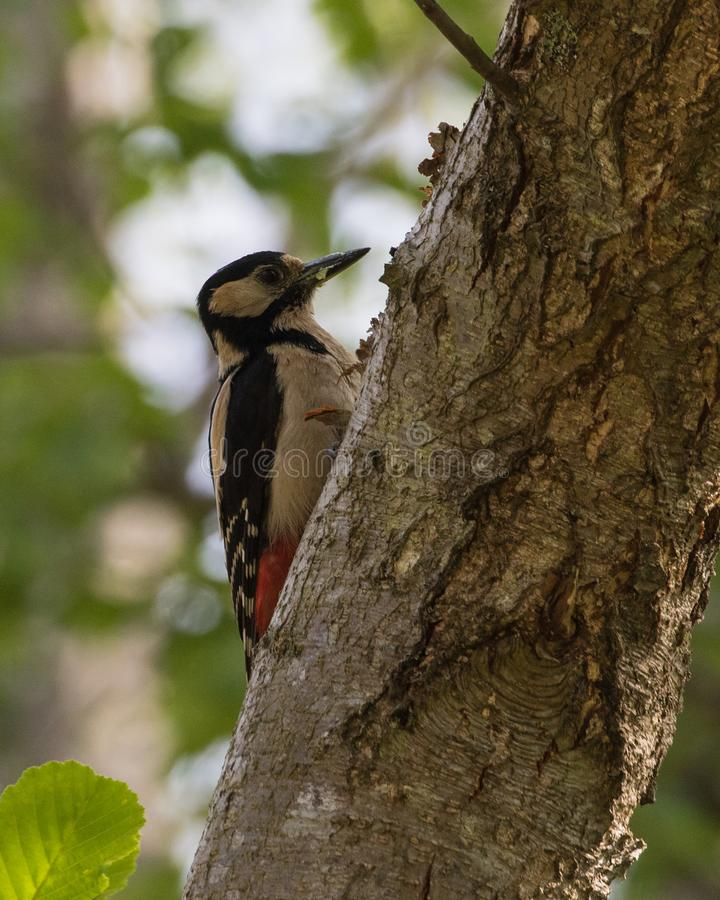 Great Spotted Woodpecker in a tree at Gotland Sweden. Great Spotted Woodpecker Dendrocopus major in a tree at Faro, Gotland, Sweden stock image