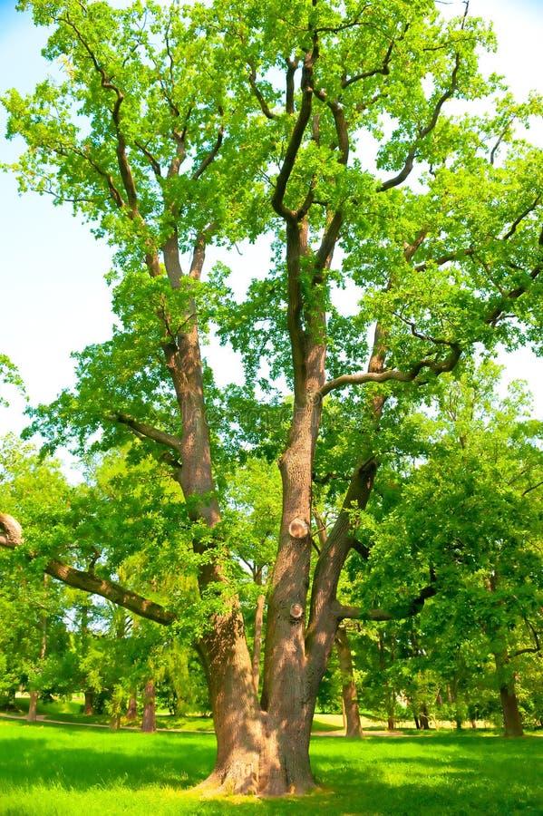 Great spreading oak grows on green lawn stock photos