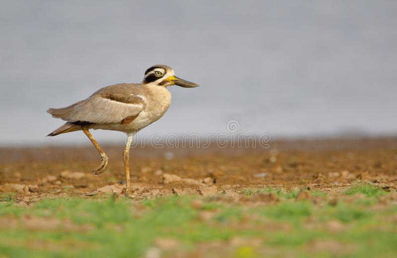 Great stone curlew bird. Walking on the river bank royalty free stock image