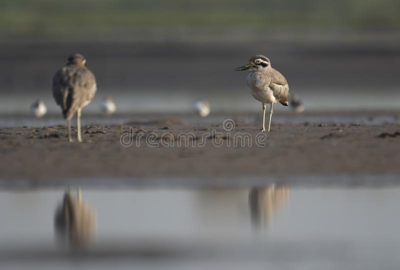 Great stone curlew. Resting on river bank royalty free stock images