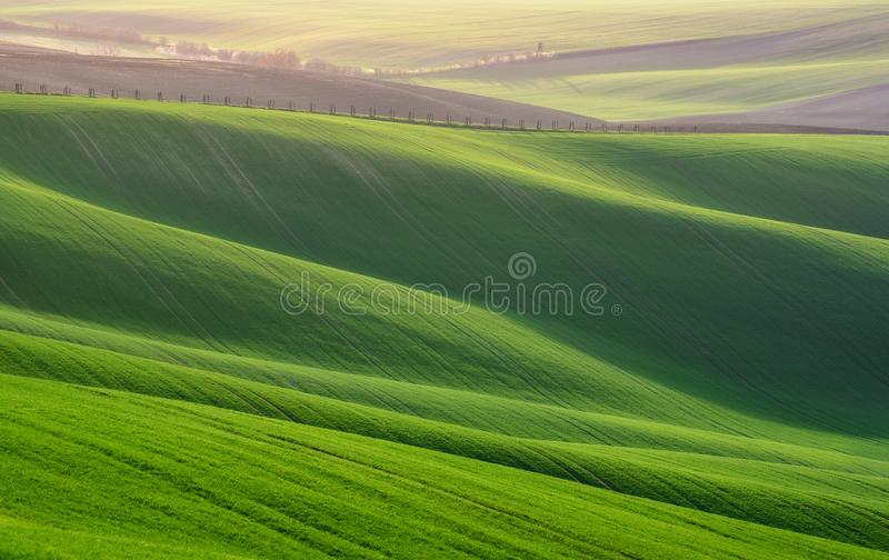 Great Summer Landscape With Fields Of Wheat. Natural Spring Rural Landscape In Green Color. Green Wheat Field With Stripes And W royalty free stock images