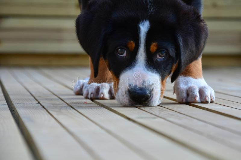 Great Swiss Mountain Puppy. A great swiss mountain puppy dog sniffing a wooden deck and looking straight at the camera lensn royalty free stock images
