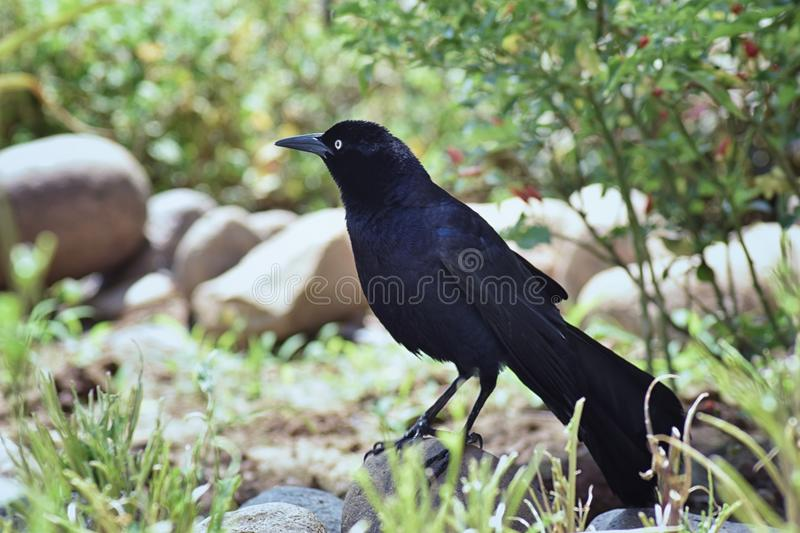 Great-tailed Grackle bird close up in Puerto Vallarta Mexico. Great-tailed Grackle bird close up in Puerto Vallarta Mexico, America stock photo