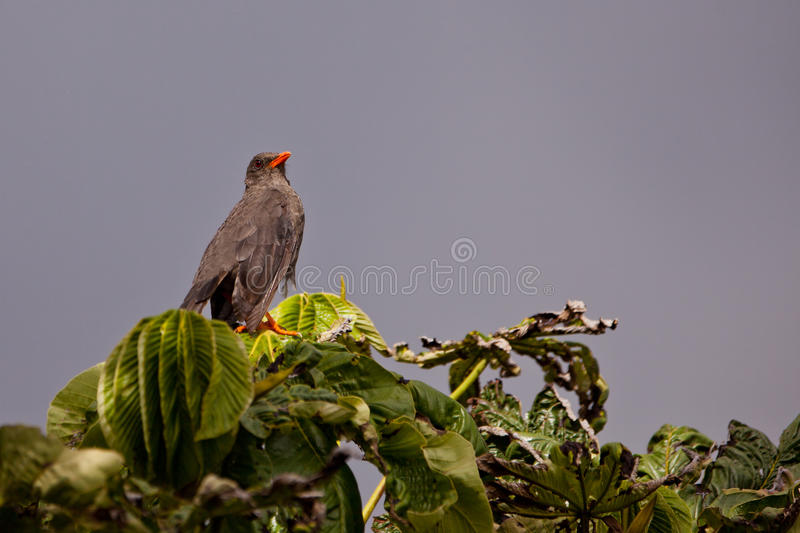 Download Great Thrush After The Rain Royalty Free Stock Photography - Image: 25853617