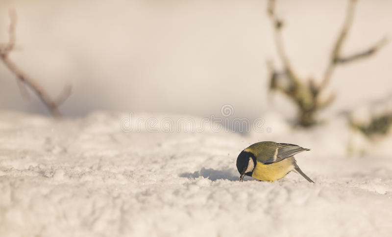 Download Great Ti on the snow stock image. Image of living, animals - 29678151