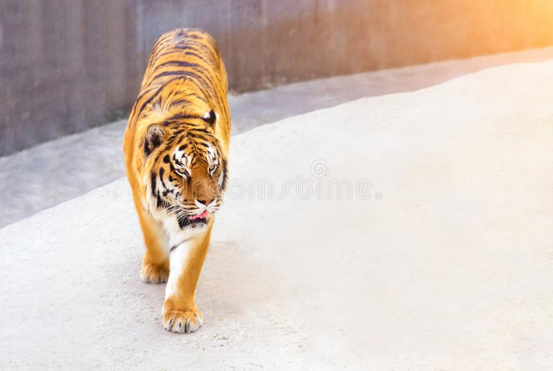 Great tiger male in the nature habitat. Tiger walk during the golden light time. Wildlife scene with danger animal. Hot summer royalty free stock image