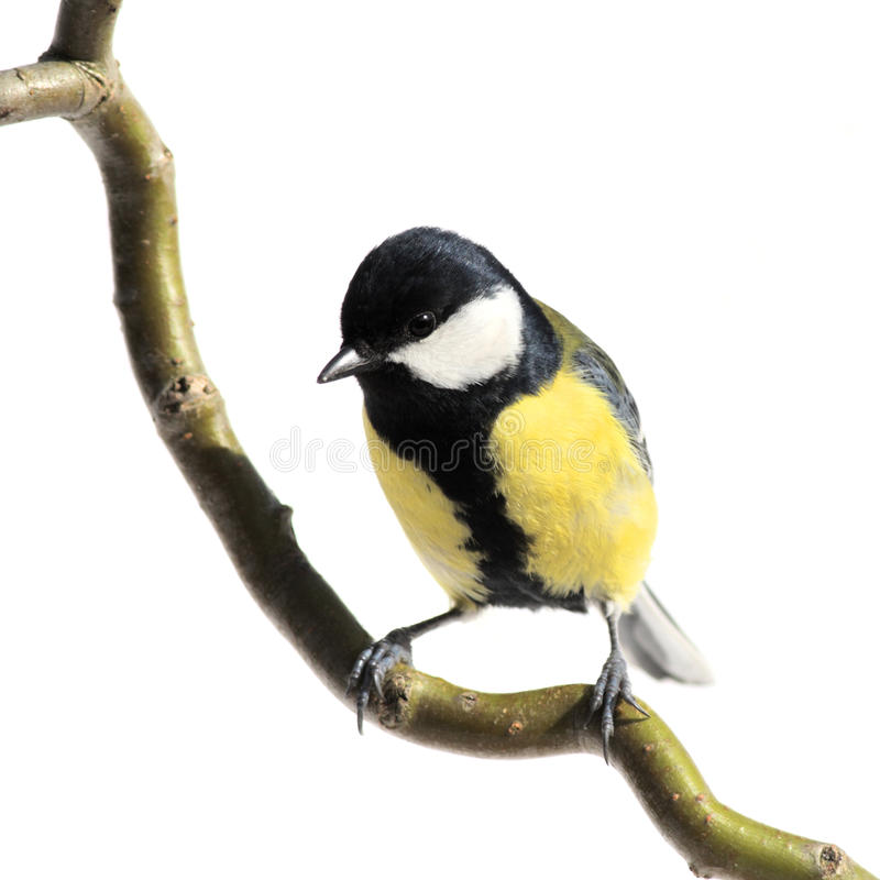 Download Great tit stock image. Image of animal, small, song, beautiful - 11060099