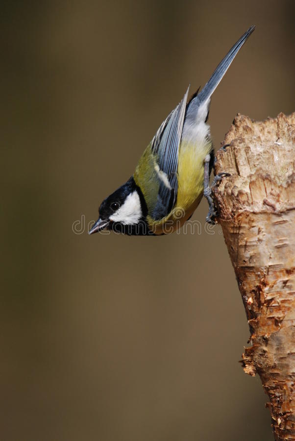 Free Great Tit Stock Photography - 11374872