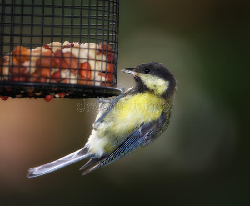 Download The Great Tit stock image. Image of animal, cute, birdlife - 14707537
