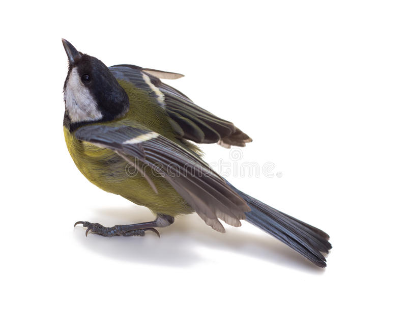 Download Great Tit stock image. Image of yellow, blue, wild, major - 18517651