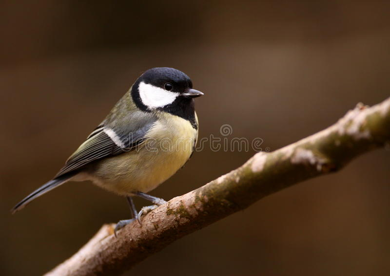Download Great Tit stock photo. Image of woodland, feathers, winter - 23369124